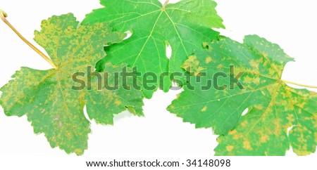 green vine leaves - stock photo