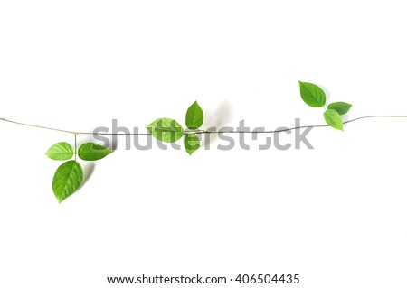 green vine plant close up on white background - stock photo