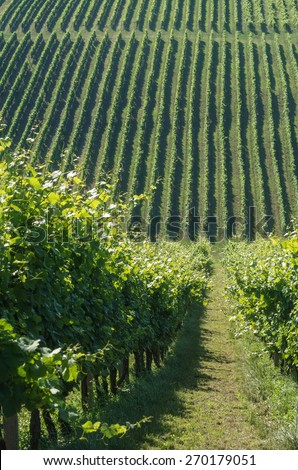 Green vineyard on a hill in summer - stock photo