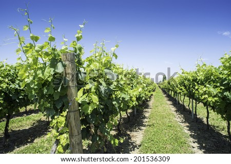 Green Vineyards field. Blue sky and sunlight - stock photo