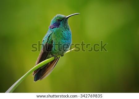 Green Violet-ear, Colibri thalassinus, Hummingbird with green leave in natural habitat, Panama - stock photo