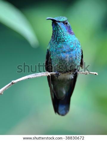 green violet ear hummingbird, savegre valley, san gerado de dota, costa rica. exotic bird in vibrant tropical jungle - stock photo