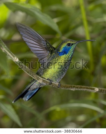 green violet ear male hummingbird, costa rica - stock photo