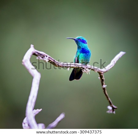Green Violet Eared Hummingbird in the central mountains of Mexico. This is a rare picture of a medium sized hummingbird that is very elusive and shy. This bird can be identified by is very noisy voice - stock photo