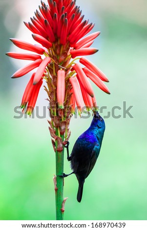 Green Violetear Hummingbird (Colibri thalassinus) on flower - stock photo