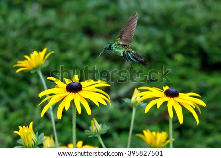 Green violetear hummingbird in the garden with yellow flowers - stock photo