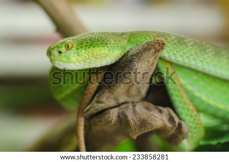 Green Viper photographed in a cave in thailand, sleeping on a branch. - stock photo