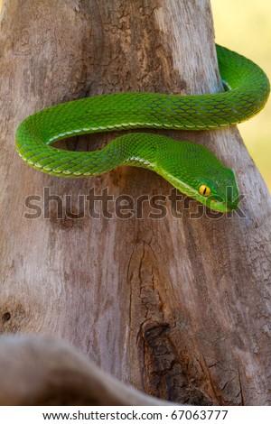 Green viper snake on log - stock photo