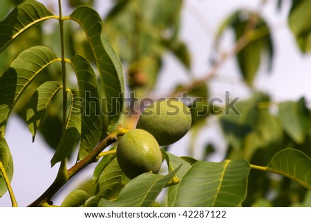 Green walnuts on a tree