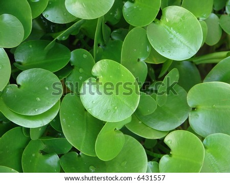Green water plant with apple-shaped in Balinese garden - stock photo