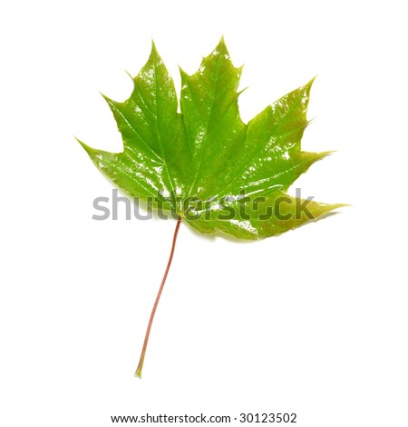 Green wet maple leaf isolated on white - stock photo