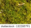 Green wet moss on the ground as a background - stock photo