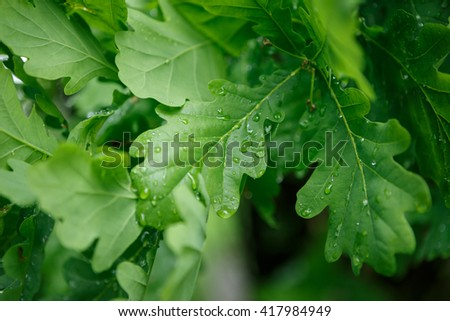 Green Wet oak leaf in the forest. - stock photo