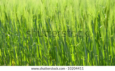 Green wheat - stock photo