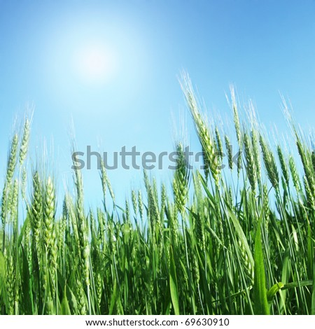 Green wheat and sun. - stock photo