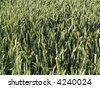 green wheat close up - stock photo