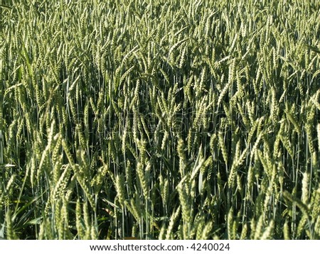 green wheat close up - stock photo