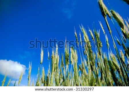 green wheat close up against blue sky with some clouds - stock photo