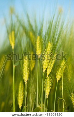 Green wheat close-up. Macro shot - stock photo