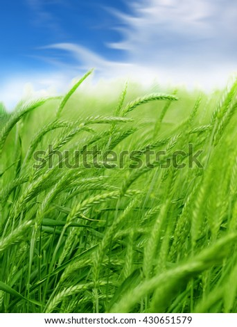 Green wheat detail - stock photo