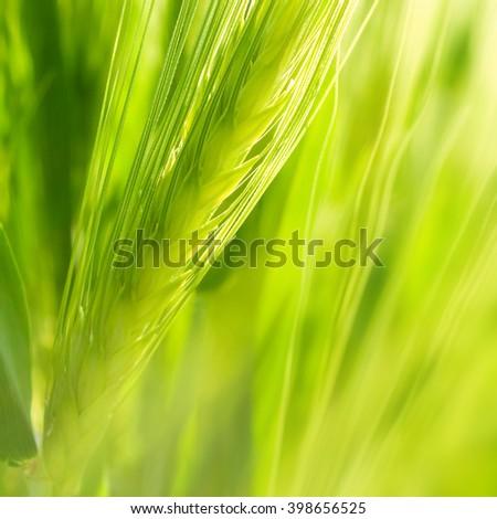 Green wheat ear. - stock photo