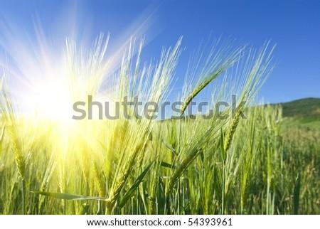 green wheat ears in a rays of sun - stock photo