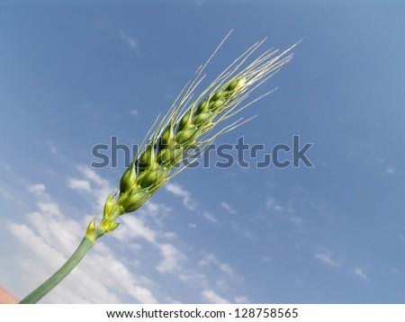 green wheat ears under cloudy sky - stock photo