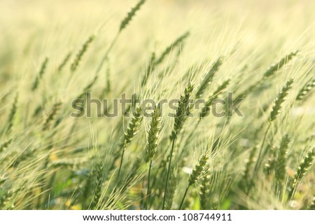 Green wheat field - stock photo