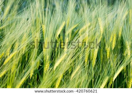 Green wheat field. - stock photo