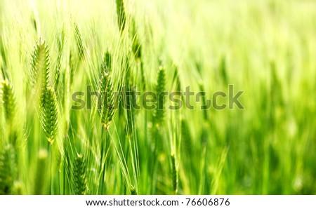 Green wheat field - stock photo
