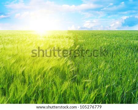 Green wheat field and sun - stock photo