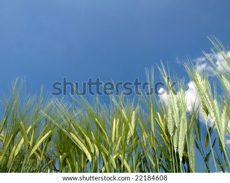Green wheat field at spring under blue with clouds