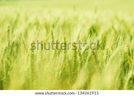 Green wheat field bathing in sunlight with shallow depth of field - stock photo