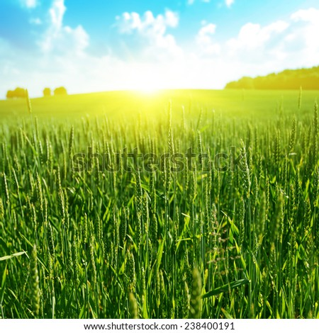 Green wheat field, blue sky and sunlight. - stock photo