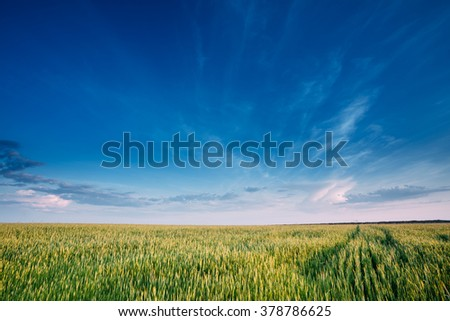 Green Wheat Field In Spring season. Agricultural Rural Landscape in Sunny Evening. Copy space on sunny blue sky background. - stock photo