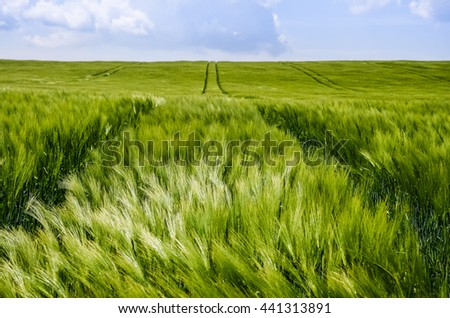Green wheat field in spring sunny day. Original wallpaper