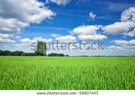 Green wheat field on blue sky background - stock photo