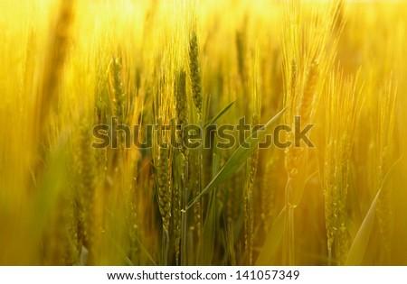 Green wheat field. Spring landscape. - stock photo