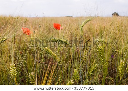 Green wheat field with poppies on green field  - stock photo