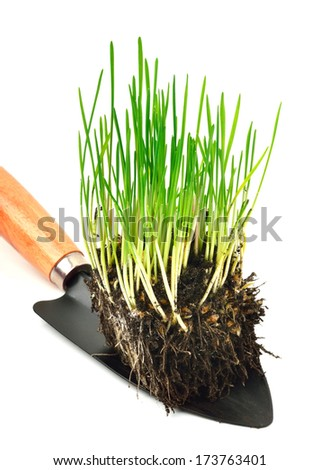 Green wheat grass with roots in the shovel  isolated on white background