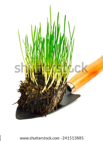 Green wheat grass with roots in the shovel  isolated on white background - stock photo