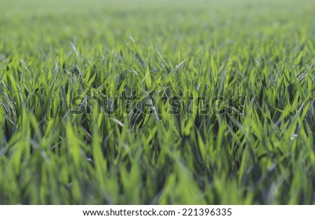 Green wheat growing in a field - stock photo