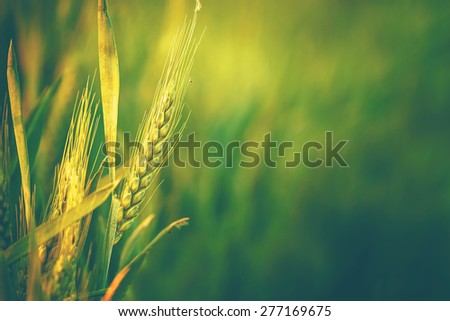 Green Wheat Head in Cultivated Agricultural Field, Early Stage of Farming Plant Development, Retro Toned Image with Selective Focus with Shallow Depth of Field - stock photo