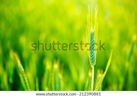 Green Wheat In Field At Sunset. Late Spring, Early Summer - stock photo
