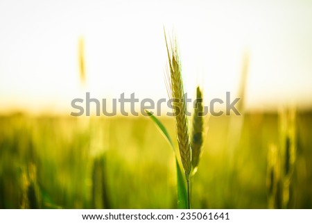 Green wheat in field at sunset. Late spring, early summer. - stock photo