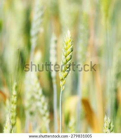 Green wheat in field, background - stock photo