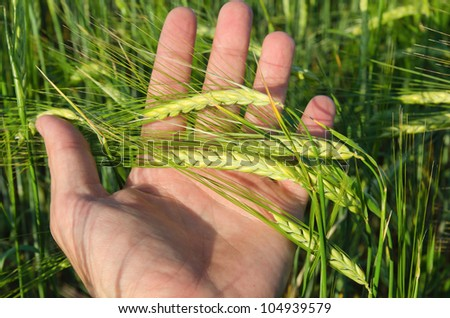 Green wheat in hand - stock photo