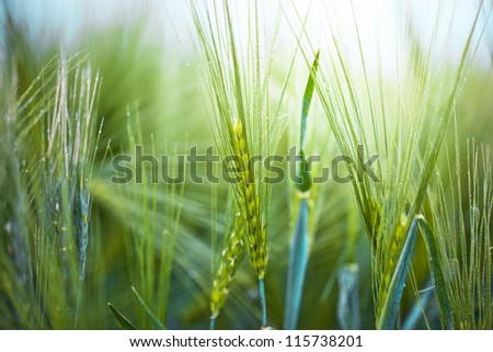 Green wheat in the field. - stock photo
