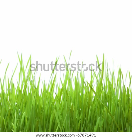 Green wheat isolated on a white background.