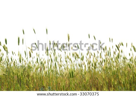 Green wheat isolated on the white background - stock photo